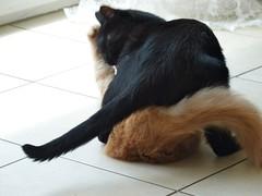 P1040999 (frankbehrens) Tags: cats tom cat chats kitten chat gatos gato katze toms katzen kater tomcat tomcats