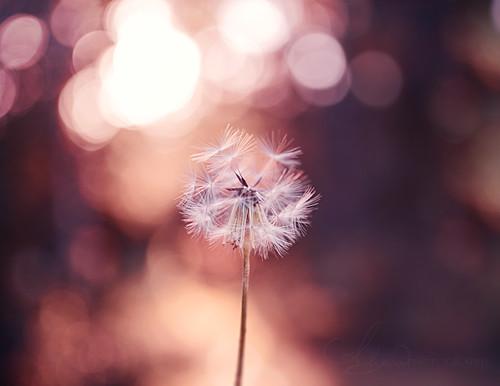 This Evening (AlyKPhoto) Tags: pink light sunset summer sun white flower macro cute nature childhood closeup canon outside happy eos 50mm spring weed pretty child bokeh tan cream sigma sunny dandelion nostalgia nostalgic wish wildflower f28 wishing 6d wishful