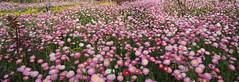 Wildeflowers- Kings Park