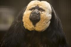 140823_76 (orca_bc) Tags: animal animals monkey monkeys saki sakis newworldmonkey pitheciapithecia whitefacedsaki sakimonkey guianansaki goldenfacedsaki sakimonkeys