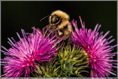 Bij / Bee enjoying nectar. (Joop Rensema.) Tags: macro netherlands canon eos nederland bee nectar ef100mmf28 groningen f28 202 bij megapixels ef100mm hoornsemeer 70d macrolife canoneos70d 202megapixels