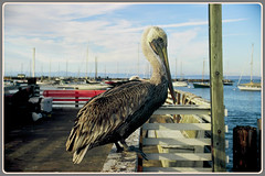 >>> The Dockmaster - I. <<< (Wolverine09J ~ 1 Million + Views) Tags: california wildlife montereybay brownpelican seacoast seabird dockside thegalaxy moonseclipse doubledragonawards faunafloralandscapes batslair ilovehorsesandallgodscreatures~