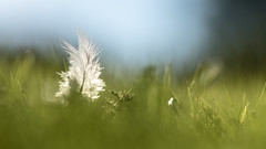 Trsor cach dans l'herbe. (virginiefort) Tags: grass nikon feather sigma lea herbe plume d600 15028