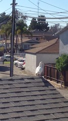 Dove came by my window to visit me.  #bird #dove #whiteDove (Jordon Papanier) Tags: bird dove whitedove