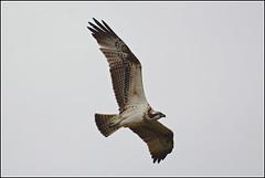 Visarend (pietplaat) Tags: vogels leidschendam visarend starrevaartplas pietplaat meeslouwerplas