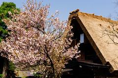cherryblossom in  Shirakawa, Japan (perahia) Tags: japan cherryblossom