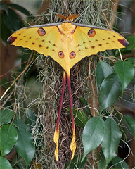 Comet Moth or Madagascan Moon Moth (Foto Martien) Tags: africa holland macro dutch yellow butterfly insect big details great moth large nederland grand papillon tropical afrika info documentation mariposa information geel geotag madagascar description explanation schmetterling mot vlinder a77 macrophoto butterflyhouse groot geotagging universiteitutrecht tropisch saturniidae nachtfalter nachtvlinder macrofoto vlindertuin madagaskar eyespots documentatie informatie macroopname toelichting cometmoth nachtpauwoog beschrijving kometenfalter vlinderhof argemamittrei indoorbutterflygarden madagascanmoonmoth komeetstaartvlinder martienuiterweerd martienarnhem minoltamacro100mm28mm fotomartien overdektevlindertuin sonyslta77v sonyalpha77 geotaggedwithgps botanicalgardensoftheutrechtuniversity zijderupsvlinder therubyawardsinvitation oogvlekken papilloncomètedemadagascar mariposaconformadecometa