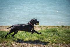 I've got my ball (GEHPhotos) Tags: england dog pets beach wet abbey ball play unitedkingdom places hampshire spaniel dogshow southampton fetch netley netleyabbey canoneos6d ef70200mmf28lisiiusm