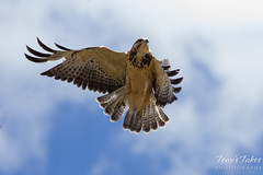 Juvenile Swainson's Hawk launch sequence (2 of 3)