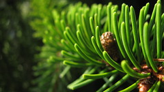 green (uncoolbob) Tags: light leaves pine digital eveningsun 169 sooc canonpowershotsx110is