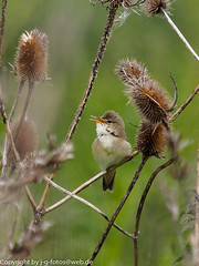 Marsh Warbler (xrxss15) Tags: birds animals germany bayern tiere europe birding animalia excursion neuulm marshwarbler acrocephaluspalustris sumpfrohrsänger acrocephalidae plessenteich reedwarblersandallies
