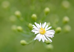 (pris matic) Tags: white flower green yellow bokeh tiny and buds