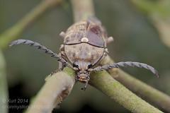 Elateridae IMG_1183 copy (Kurt (OrionHerpAdventure.com)) Tags: beetle click clickbeetle coleoptera elaterid elateridae coleopteran tropicalbeetles