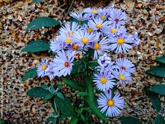 Violet Bloom (dksesh) Tags: flowers garden hounslow seshadri arundhati dhanakoti haritasya haritasa sripadmini sonyxperiaz2