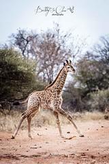 Young giraffe (Bobby-Jo Clow Photography) Tags: africa safari giraffe botswana wildlifephotography limpopolipadi