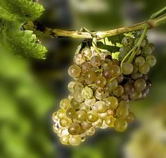 il est temps de les ramasser (mary maa) Tags: macro lumix panasonic 200 fz vigne flou raison bokek