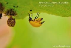 macrofotografia-pupa-adulto-cocinelido (Edi Marti) Tags: macro fotograf escarabajo edi marti manzanilla macrofotografia edimarti wwwedimarticom pp8307