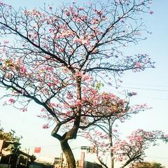 Ip florido (Dirio de uma Canceriana) Tags: brazil flores brasil square squareformat cerrado ipe goiania iphoneography instagramapp uploaded:by=instagram nokialumia lumia920