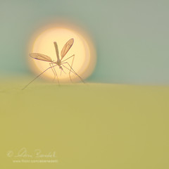 shimmering vanity () Tags: andy up animals silhouette insect 50mm close bokeh andrea f14 andrew mosquito animali insetto zanzara benedetti