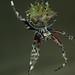 Molinaranea clymene (hembra). Individuo nº4