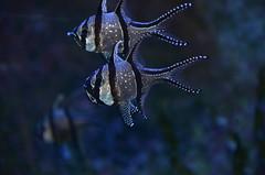 (Claudia Clementi) Tags: fish gteborg aquarium schweden gothenburg fisch sverige