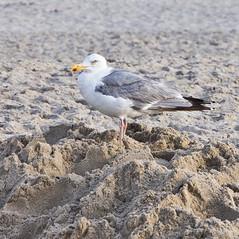 Neugierig / Nosy (schreibtnix on 'n off) Tags: sea seagulls holland travelling beach netherlands birds animals closeup strand tiere reisen north vgel nordsee mwen nahaufnahme larusargentatus herringgull callantsoog silbermwe olympuse5 schreibtnix