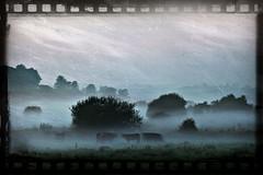 Cows in the Fog (dareangel_2000) Tags: mist film weather fog cows photos grunge atmosphere negative constable ardscameraclub moodsofatmosphere dariacasement