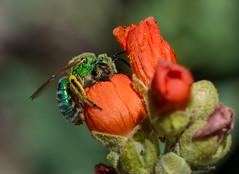 Sweat Bee (hansreb3) Tags: insect globe bee idaho mallow