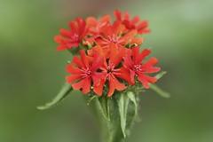 Lychnis chalcedonica (thmlamp) Tags: lychnischalcedonica brennendeliebe malteserkreuz scharlachlichtnelke jerusalemerkreuz
