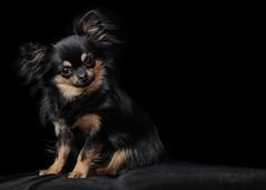 Teasel (Ruth S Hart) Tags: chihuahua pedigree purebred rescue nikond300 nikon18200mm nikonsb700 flash black tan expression character dog portrait longcoat elitechihuahuas ©ruthshart