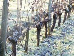 vigne hiver 2
