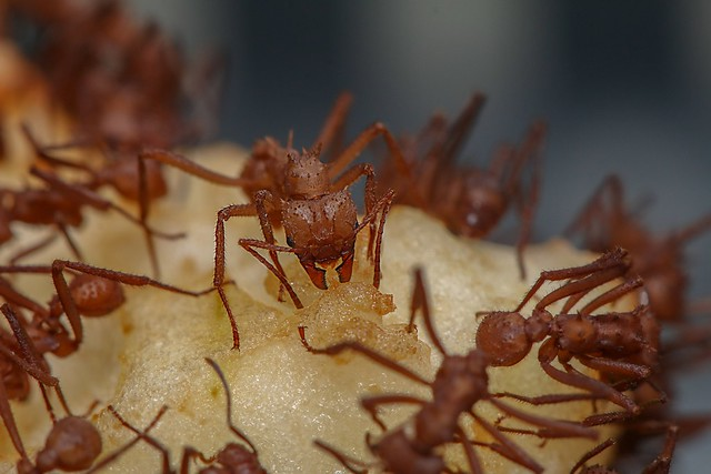 Leaf ctter ants cutting Apple