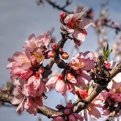 Almendros en Flor - Almond Blossom (ASpepeguti) Tags: olympusomdem1 zd1454mm viltrox almendrosenflor almondblossom málaga málagaalmogíacasabermeja photomatixpro50 andalucia andalusia andalucía alandalus españa spain