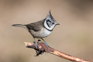 Crested Tit-157