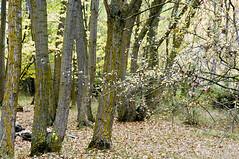 Ro Dulce, Hoz de Pelegrina (Guadalajara, Espaa) (ipomar47) Tags: parque autumn espaa nature rio forest river spain natural pentax sweet reserve guadalajara bosque otoo ravine gorge dulce barranco hoz pelegrina k20d