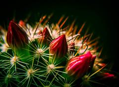 Self Preservation (Raggedjack1) Tags: spikes carmine pinkflowers cactusflower cactusdetail