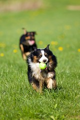 Sunny and Chesty (proefdier) Tags: dog playing ball sunny hund chesty spielen waldkirchen