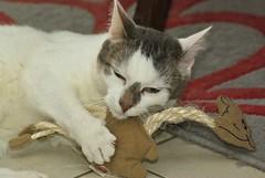 IMGP9297 (frankbehrens) Tags: cats cat chats chat gatos gato katze katzen valerian baldrian