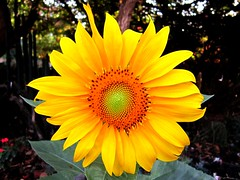 Sunflower - חמניה (yoel_tw) Tags: sunflowers sunflower חמניות חמניה a3300 canonpowershota3300