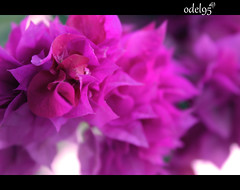 Bougainvillea (odel95) Tags: pictures flowers game nature beauty canon nice focus flickr purple ps bougainvillea niceflower beautyofflower bungakertas malaysianphotography canond600 odel95 beautyofbougainvillea playwiththecolor bellaodel borneophotography