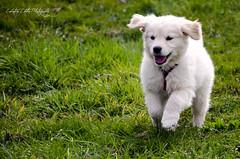 Happy puppy (Ciubotaru Catalin) Tags: white energy running smalldog greengrass goldenretrieverpuppy