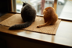 Tails (rampx) Tags: zeiss cat ginger tail mickey neko   irori selkirkrex miaw planart1450 zf2
