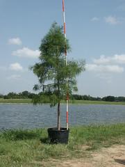 Pond Cypress 30g 7-10-14