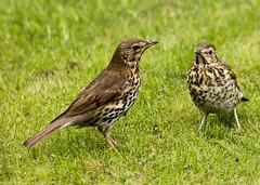 2011-05-20-12-52-13-0002.jpg (martinbrampton) Tags: england bird unitedkingdom wildlife thrush brampton may2011 townfootpark