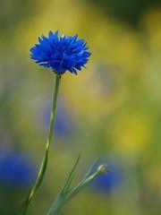 Belle saison **--- ° (Titole) Tags: blue flower yellow cornflower bleuet unanimouswinner friendlychallenges thechallengefactory titole nicolefaton