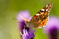 Vanessa cardui (Danny_Little) Tags: nature butterflies insects romania closeups bucuresti nikond90 sigma150mmf28exapomacrodghsm vannesacardui