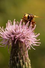 Wasp On Flower. (Patrick Pohlmann Outdoorfotografie) Tags: flower macro wasp sony alpha moor makro blte slt 58 wespe a58 dosenmoor sal30m28