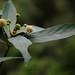 Adina sp. (Rubiaceae)