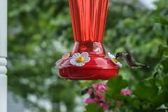 untitled-2-14.jpg (amd274) Tags: bird hummingbird capecod fujixe1 fujixf1855
