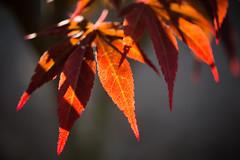 Leaf (hansekiki ) Tags: macro canon leaf maple blatt bltter ze ahorn makroplanart250 5dmarkiii makroplanar502ze zeissmakroplanart50mm